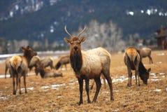 Montana Elk. Elk graze near Bozeman, Montana in winter royalty free stock images