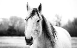 Montana Horse in Black and White. High contrast black and white photo of a Montana horse in the winter Stock Image