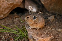 Montana-jacko Mäuselustiges Foto Stockfotos