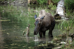 Montana Moose. Closeup of a female Moose standing in water.  Water flowing out of her mouth after feeding on the bottom of the pond Royalty Free Stock Image