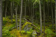 Montana Mossy Forest Stock Image