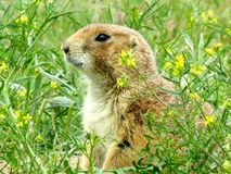 Montana prairie dog Royalty Free Stock Image