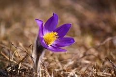 montana pulsatilla Royaltyfria Bilder