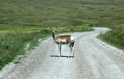 Montana where the antelope wander in abundance Royalty Free Stock Images