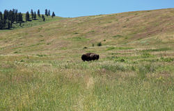 Montana where the buffalo roam. Montana USA where the buffalo roam Stock Photo