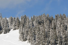 Montane forest in winter. Under the fresh snow Stock Photo