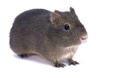 Montane guinea pig, Cavia tschudii. The Montane guinea pig, Cavia tschudii, is the wild predecessor of the domesticated guinea pig Stock Image