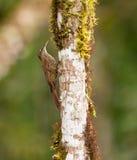 A Montane Woodcreeper on a log Stock Photo