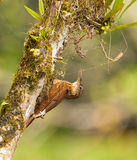 A Montane Woodcreeper with spider´s web Stock Images