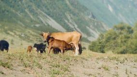 Montanha Altay Landscape O cenário da montanha do verão A grama verde cobre um grande vale situado entre a neve filme