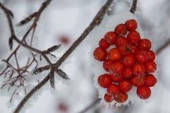 Montanha Ash Berry Clump com Frosty Angled Branch fotografia de stock