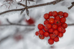 Montanha Ash Berry Clump no direito da foto Foto de Stock Royalty Free