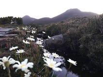 Montanha bonita de Tasmânia do pico do hartz da opinião do por do sol com margarida Foto de Stock Royalty Free