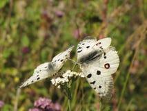 Montanha, borboleta Imagem de Stock Royalty Free