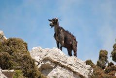 Montanha-cabra fotografia de stock