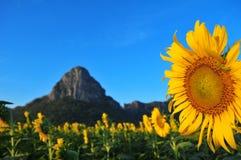 Montanha de florescência do girassol fotografia de stock