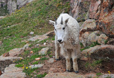 Montanha Goa, Rocky Mountains Imagens de Stock Royalty Free