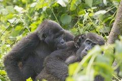 Montanha Gorilla Grooming um outro gorila fotografia de stock