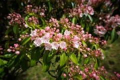 Montanha Laurel Star Shaped Flowers Fotografia de Stock