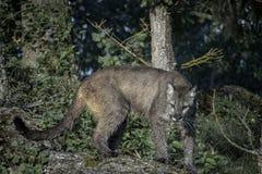 Montanha Lion Poised a golpear fotografia de stock royalty free