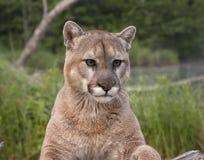 Montanha Lion Portrait Imagem de Stock