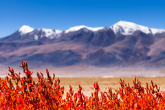 Montanha Neve-tampada inferior elegan do Gelsemium Fotografia de Stock Royalty Free