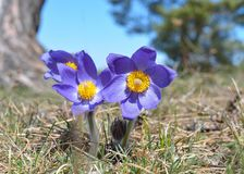Montanha Pasqueflower Imagens de Stock Royalty Free