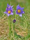 Montanha Pasqueflower (Pulsatilla montana) Foto de Stock Royalty Free
