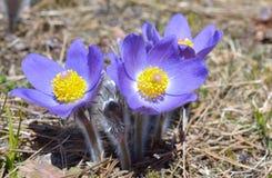 Montanha Pasqueflower (Pulsatilla montana) imagens de stock royalty free