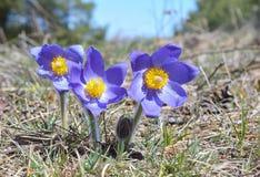 Montanha Pasqueflower (Pulsatilla montana) fotografia de stock royalty free