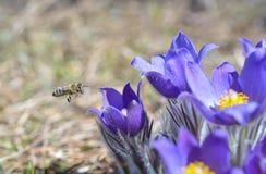 Montanha Pasqueflower (Pulsatilla montana) fotos de stock