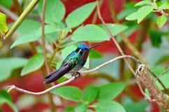 Montanha Roxo-Throated Gem Hummingbird - homem imagem de stock