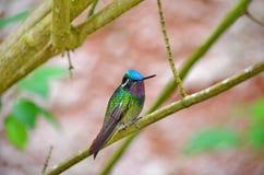 Montanha Roxo-Throated Gem Hummingbird - homem fotos de stock royalty free
