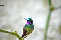 Montanha Roxo-Throated Gem Hummingbird - homem imagens de stock royalty free