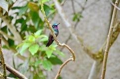 Montanha Roxo-Throated Gem Hummingbird - homem imagens de stock