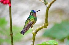 Montanha Roxo-Throated Gem Hummingbird - homem foto de stock royalty free