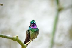 Montanha Roxo-Throated Gem Hummingbird - homem foto de stock