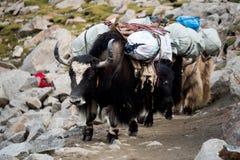 Montanha Tibet dos Himalayas dos iaques Imagens de Stock