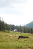 Montanhas Carpathian fotografia de stock