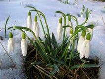 Montanhas Carpathian ucranianas Lírio da flor Fotografia de Stock Royalty Free