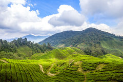 Montanhas de Cameron das plantas de chá fotografia de stock