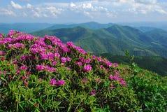 Montanhas de North Carolina com Rhododendron do Catawba foto de stock