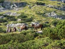 MONTANHAS DE RILA, BULGÁRIA - 9 DE AGOSTO DE 2012: Um homem novo em um cavalo conduz um trem do cavalo para um transporte da baga fotos de stock royalty free