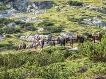 MONTANHAS DE RILA, BULGÁRIA - 9 DE AGOSTO DE 2012: Um homem novo em um cavalo conduz um trem do cavalo para uma bagagem da montan Imagem de Stock Royalty Free