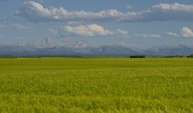 Montanhas de Teton e campos de trigo fotos de stock royalty free