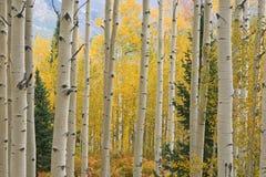 Montanhas dos alces de Aspen do outono fotos de stock