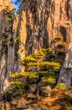 Montanhas e árvores de Huangshan Fotos de Stock Royalty Free