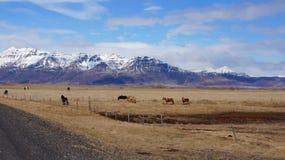 Montanhas e cavalos em fiordes do leste em Islândia Imagem de Stock
