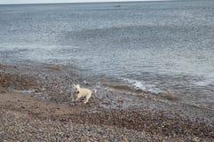 Montanhas ocidentais Terrier na praia Imagens de Stock Royalty Free