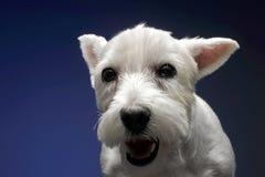 Montanhas Terrier branco ocidentais em um fundo azul Fotos de Stock